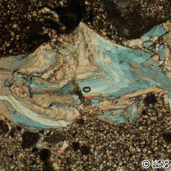brachiopode